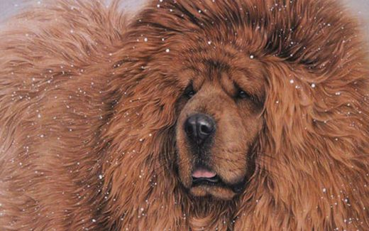 Tibetan Mastiff wallpaper