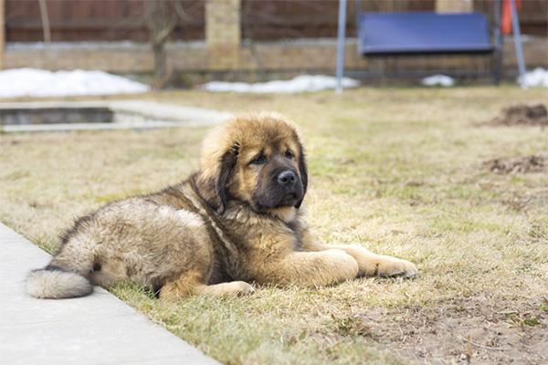 Tibetan Mastiff baby
