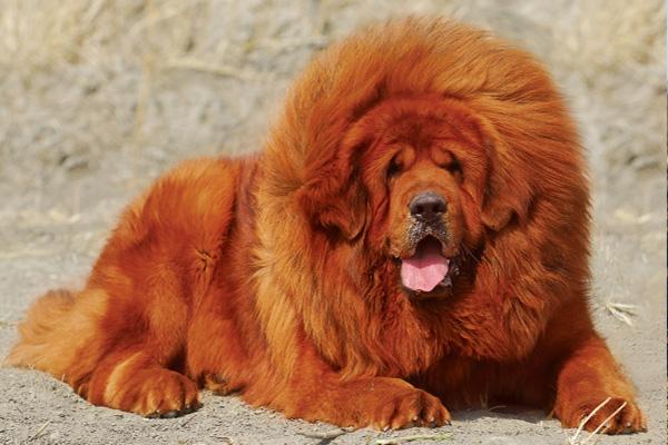 เคล็ดไม่ลับ จับ สุนัขพันธุ์ ทิเบตัน มาสทิฟฟ์ (Tibetan Mastiff) มาเลี้ยง