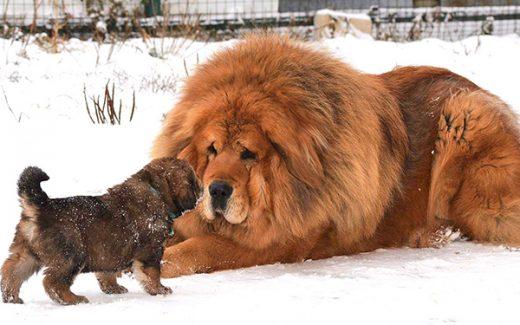 Tibetan Mastiff expensive