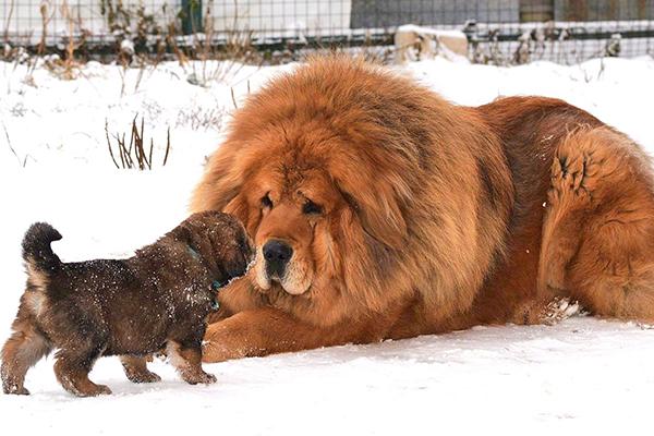 สุนัข Tibetan Mastiff สุนัขราคาแพงที่สุดในโลก