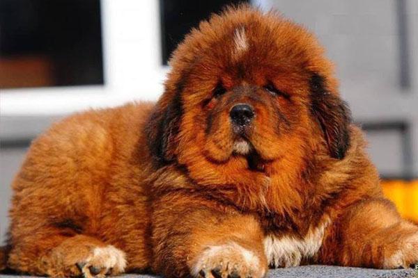 ราคาหมาทิเบตันขนแดงที่แพงที่สุดในโลก