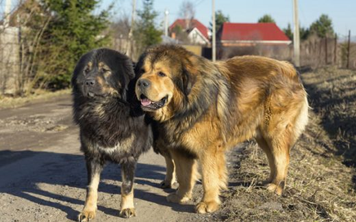 Tibetan Mastiff Primary Knowledge