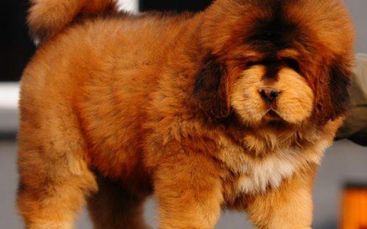 tibetan-mastiff cute